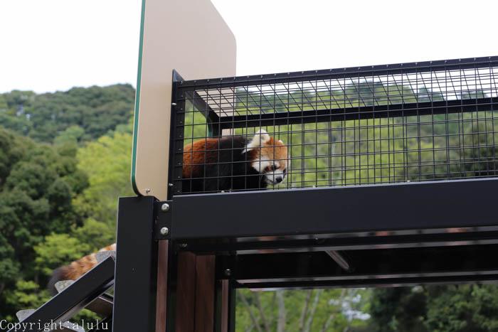日本平動物園 レッサーパンダ