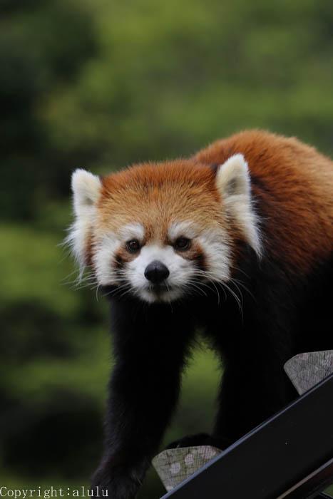 レッサーパンダ 日本平動物園