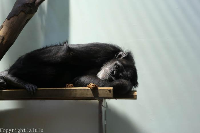 熊本市動物園 チンパンジー