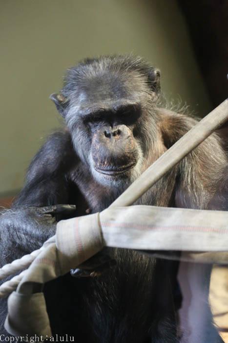 チンパンジー 熊本市動植物園