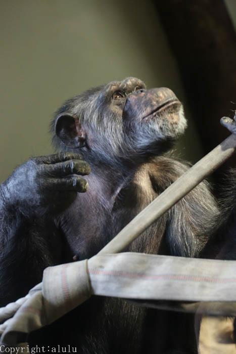 チンパンジー 動物写真