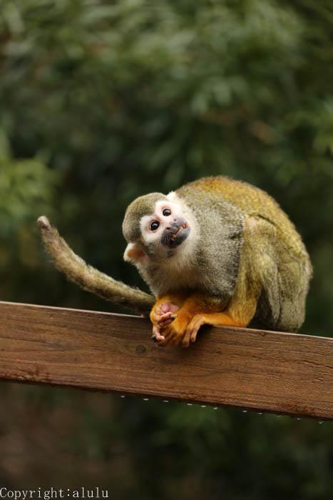 動物園 コモンリスザル