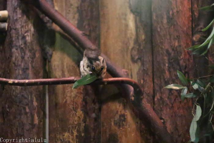 動物写真 モモンガ