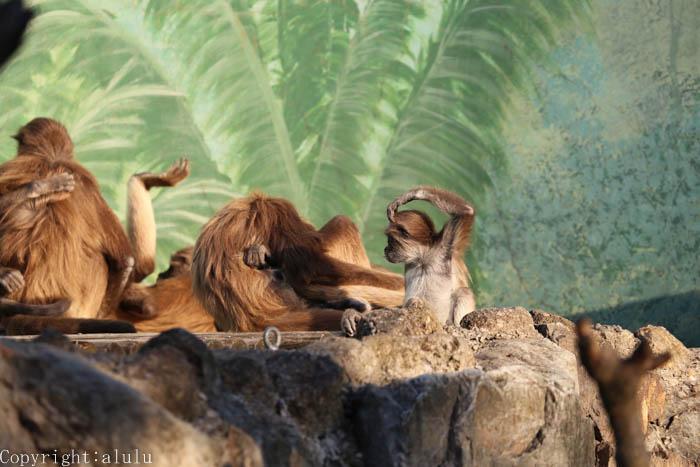ケナガクモザル 動物写真