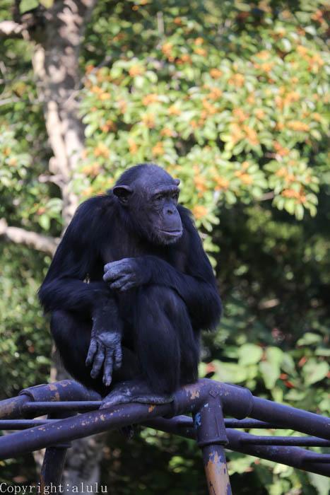 サル チンパンジー 画像