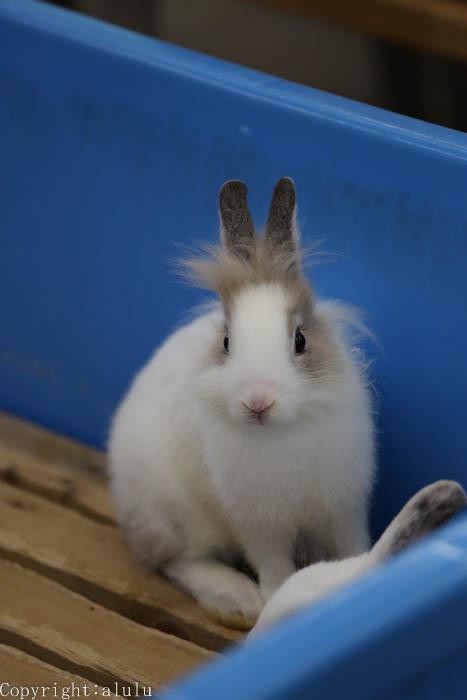 ウサギ ふれあい