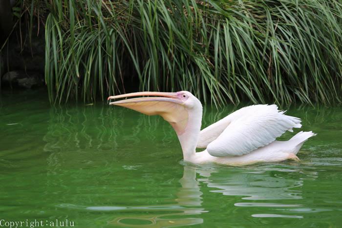 動物写真 モモイロペリカン