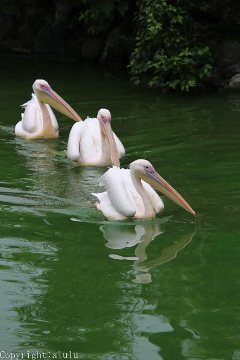 日本平動物園 モモイロペリカン