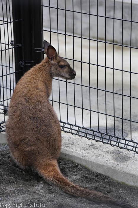 日本平動物園 ワラビー