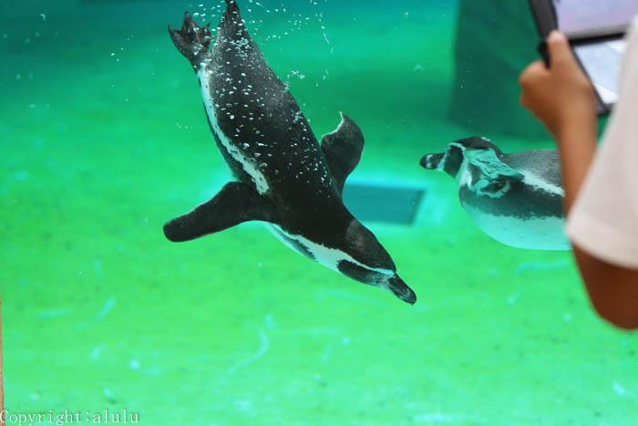 動物写真 ペンギン 水中