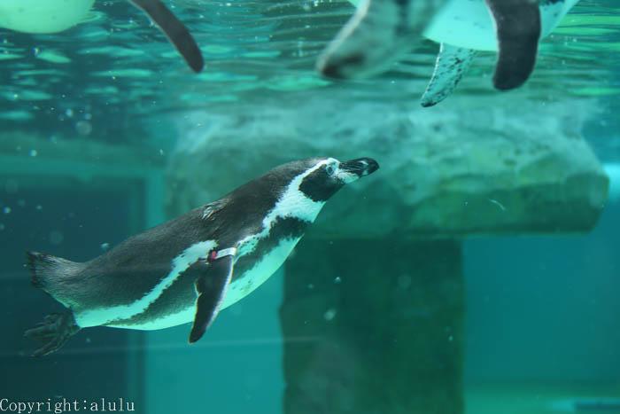 フンボルトペンギン 日本平動物園