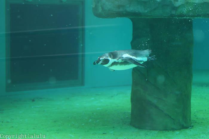 フンボルトペンギン 泳ぐ