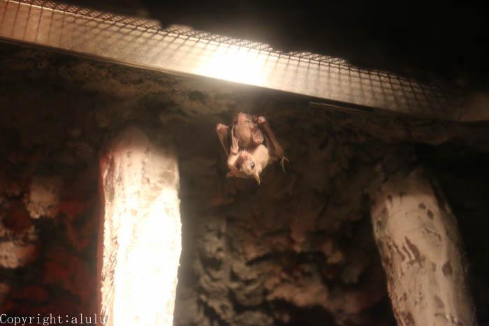 ルーセットオオコウモリ 夜行生物館