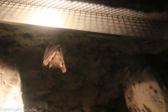 ルーセットオオコウモリ 動物園