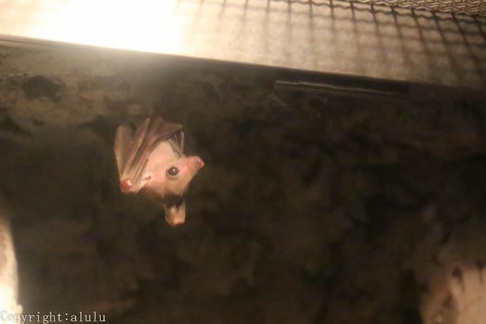 ルーセットオオコウモリ 画像