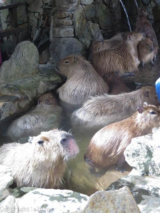 長崎バイオパーク カピバラ 温泉