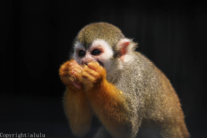 動物写真 コモンリスザル