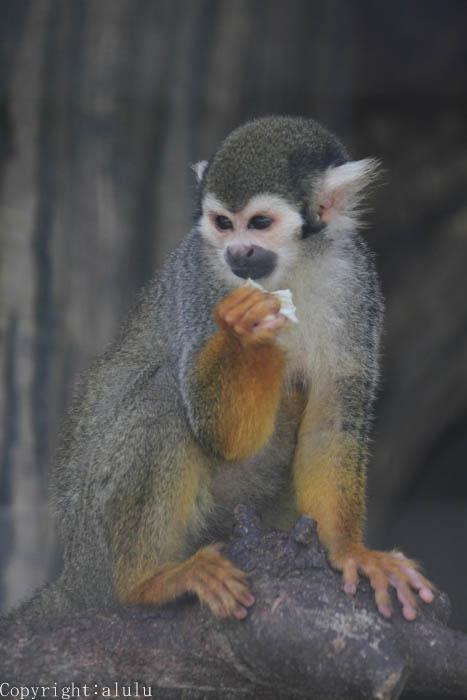 コモンリスザル 動物園