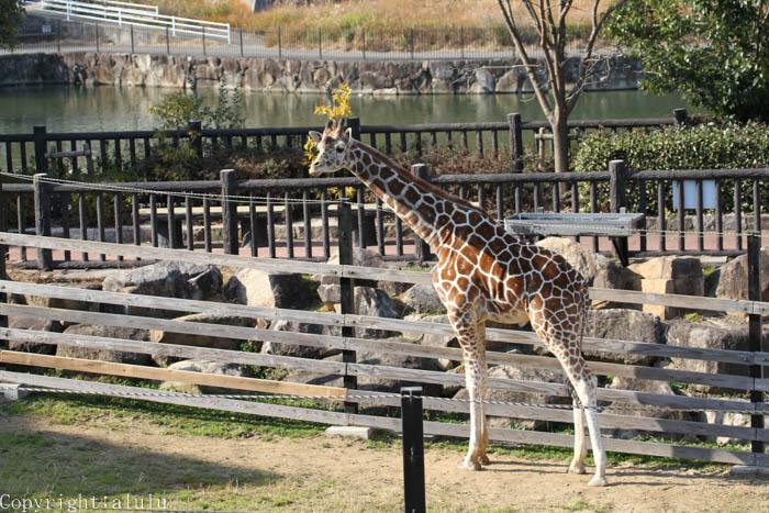 アミメキリン 福山市立動物園