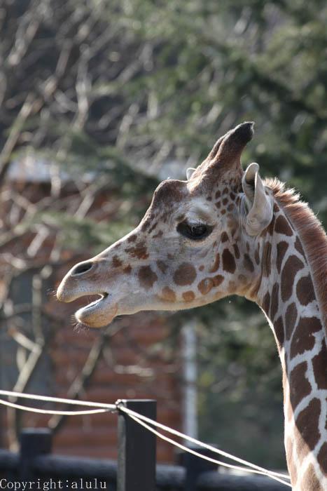 アミメキリン 動物園