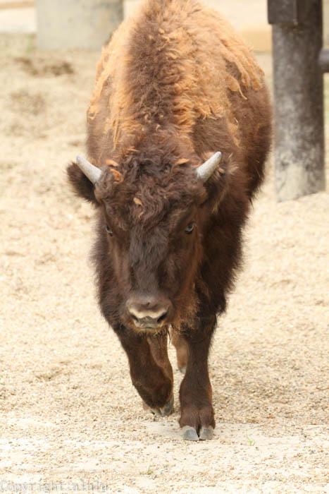 東山動物園 アメリカバイソン