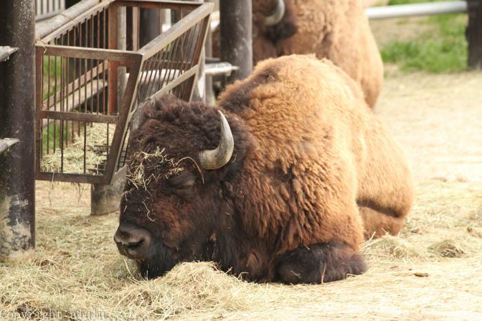 東山動物園 動物写真 バイソン