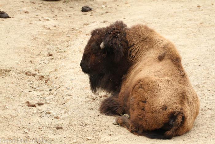 アメリカバイソン 東山動物園