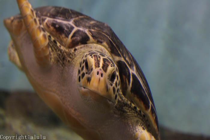 天王寺動物園 アオウミガメ