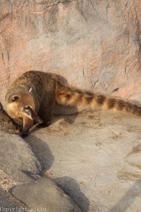 動物園 アカハナグマ
