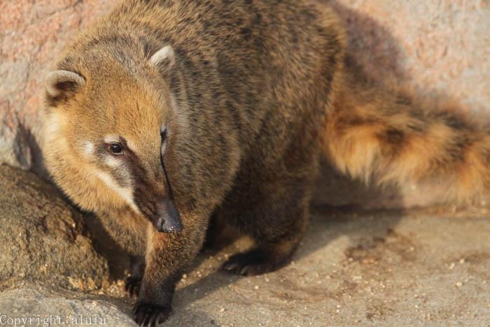 福山市立動物園 アカハナグマ