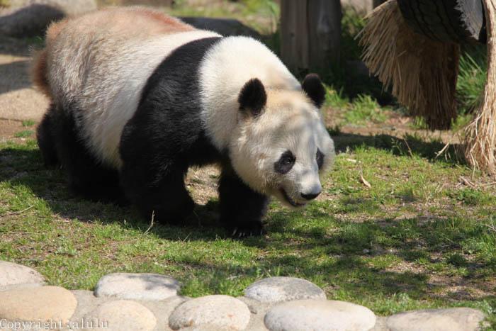 ジャイアントパンダ 動物園