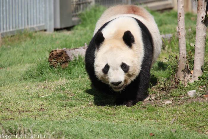 ジャイアントパンダ 王子動物園