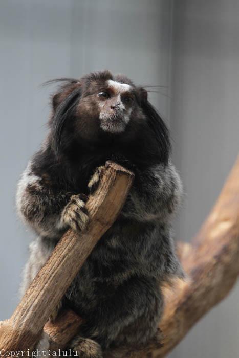 動物写真 クロミミマーモセット