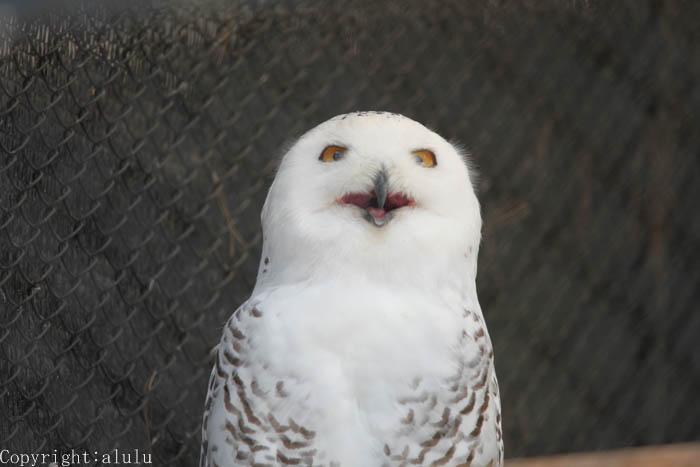 シロフクロウ 動物写真