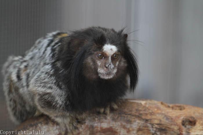 浜松市動物園 クロミミマーモセット