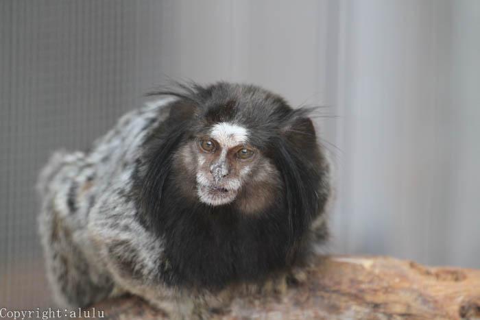 クロミミマーモセット サル