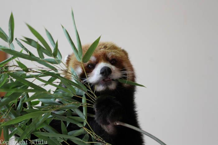 レッサーパンダ かわいい