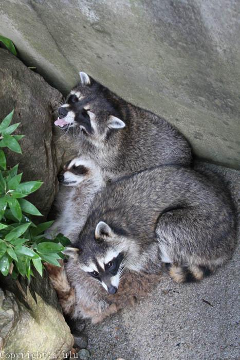 動物園 アライグマ