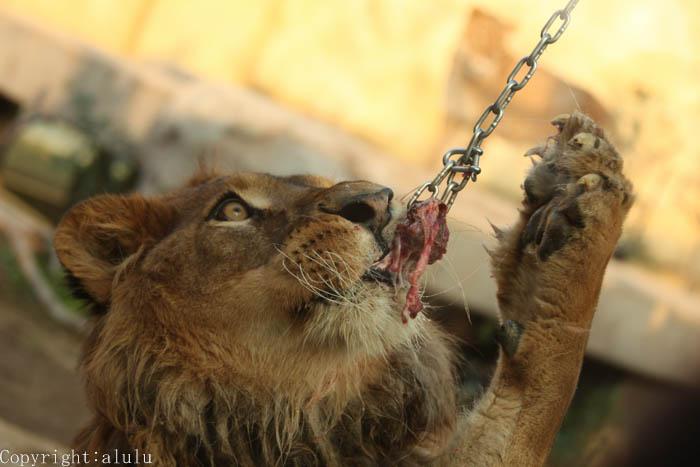 東武動物公園 ライオン