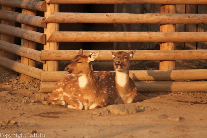 シタツンガ 動物写真