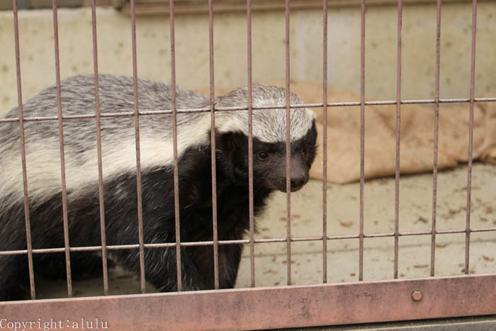 東山動物園 ラーテル ここにしかいない