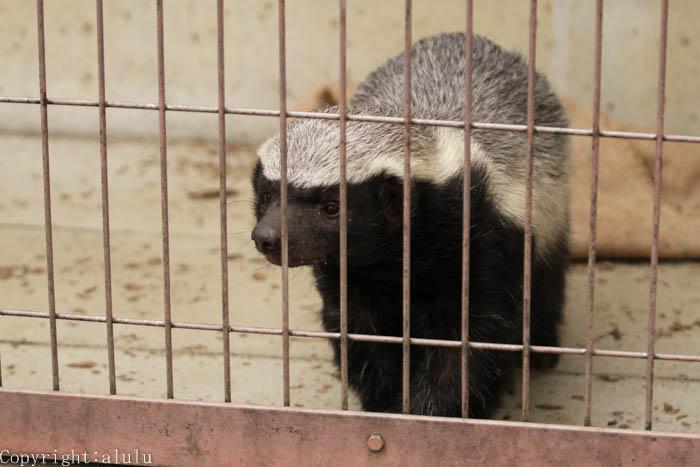 ラーテル 東山動物園