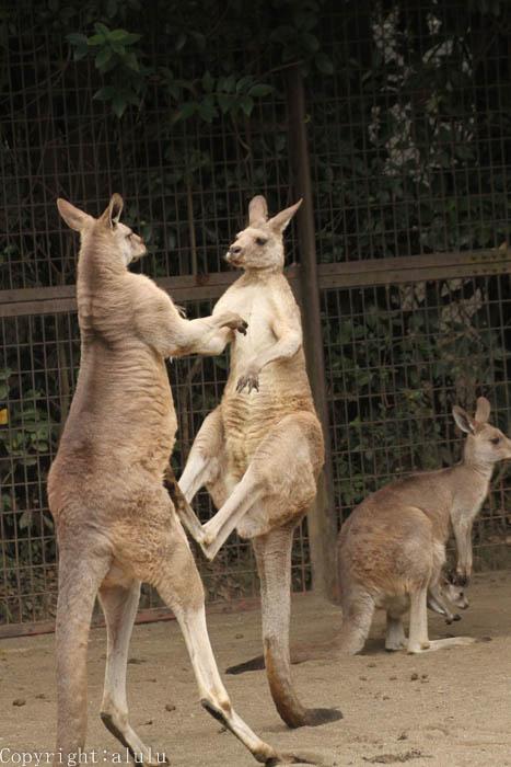 動物写真 ヒガシオオカンガルー