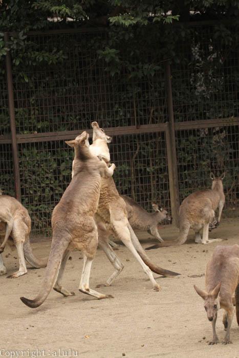 金沢動物園 オオカンガルー