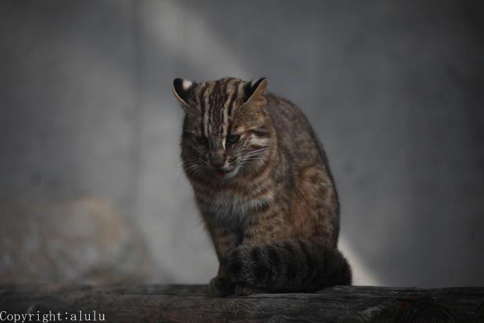 ツシマヤマネコ 福岡市動物園