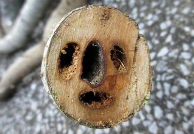 イチジクの木の鉄砲虫の食害の痕