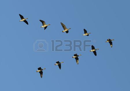 26006365-v-形成を飛んで移行-bean-雁の群れ