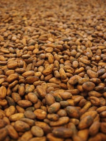 乾燥カカオ豆