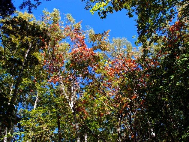 ヤマブドウの木