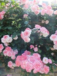 妄想のバラ